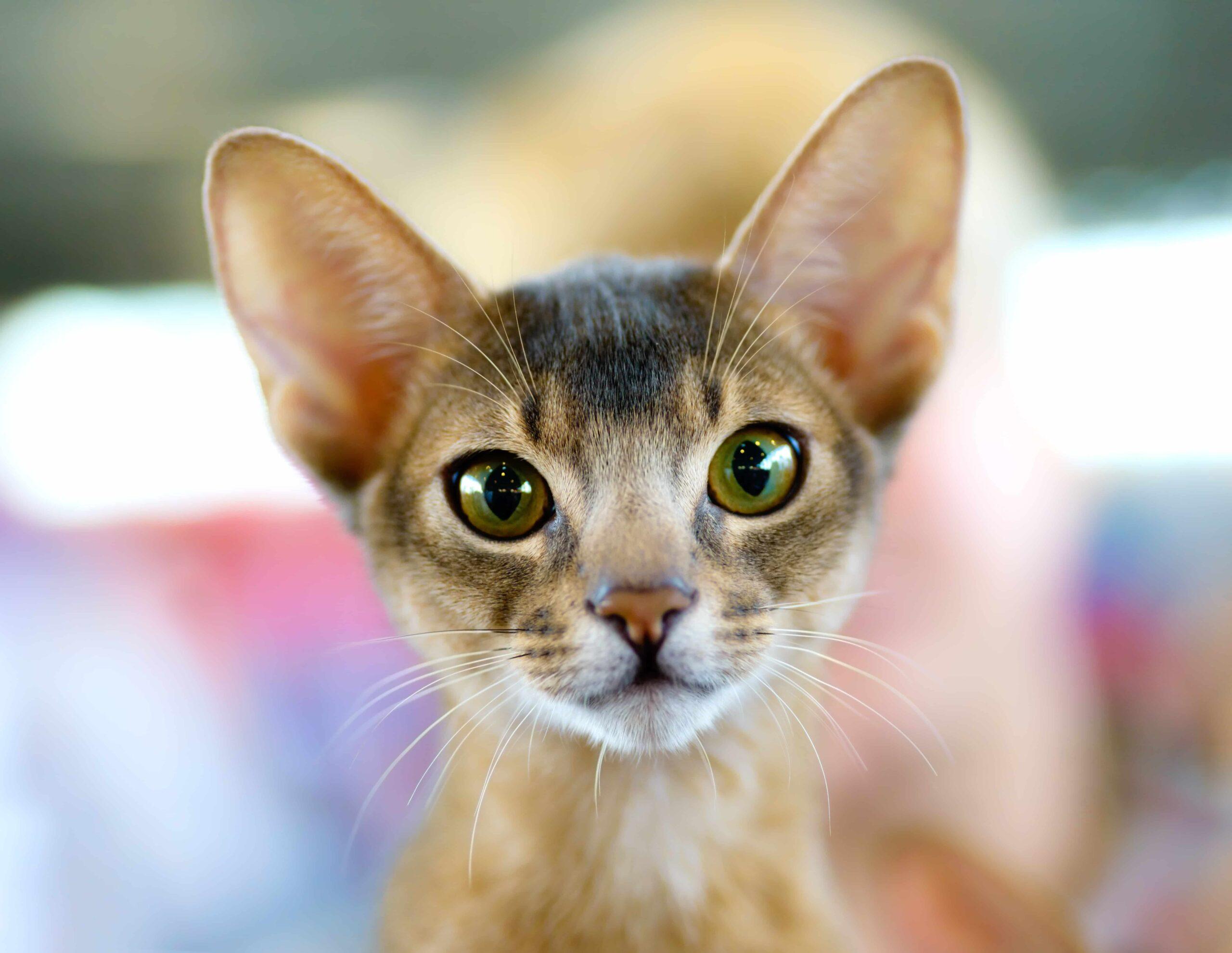 Habeş Kedisi Kökeni, Özellikleri ve Bakımı