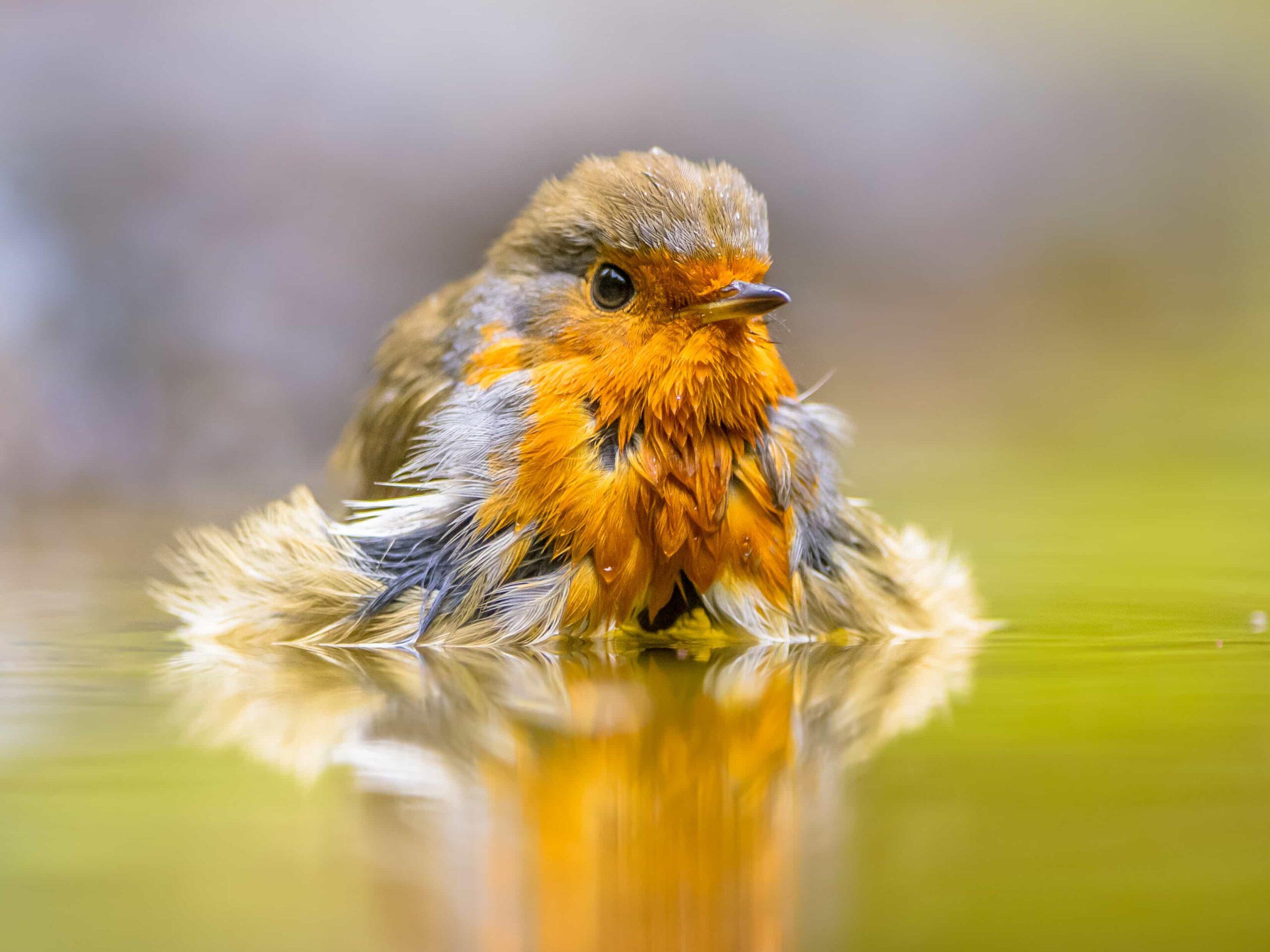 Yavru Muhabbet Kuşu Nasıl Yıkanır?