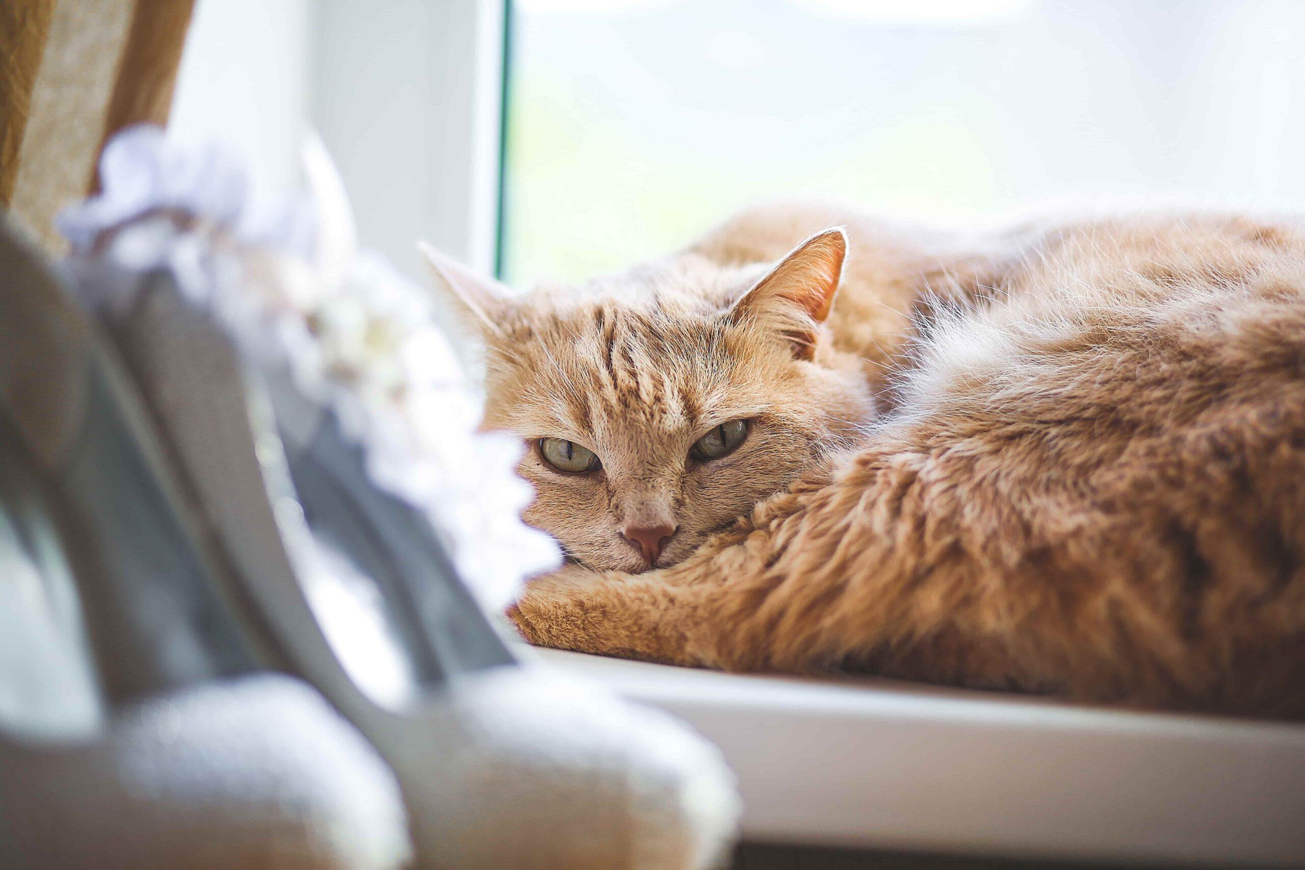En Sakin Kedi Cinsleri ve Özellikleri