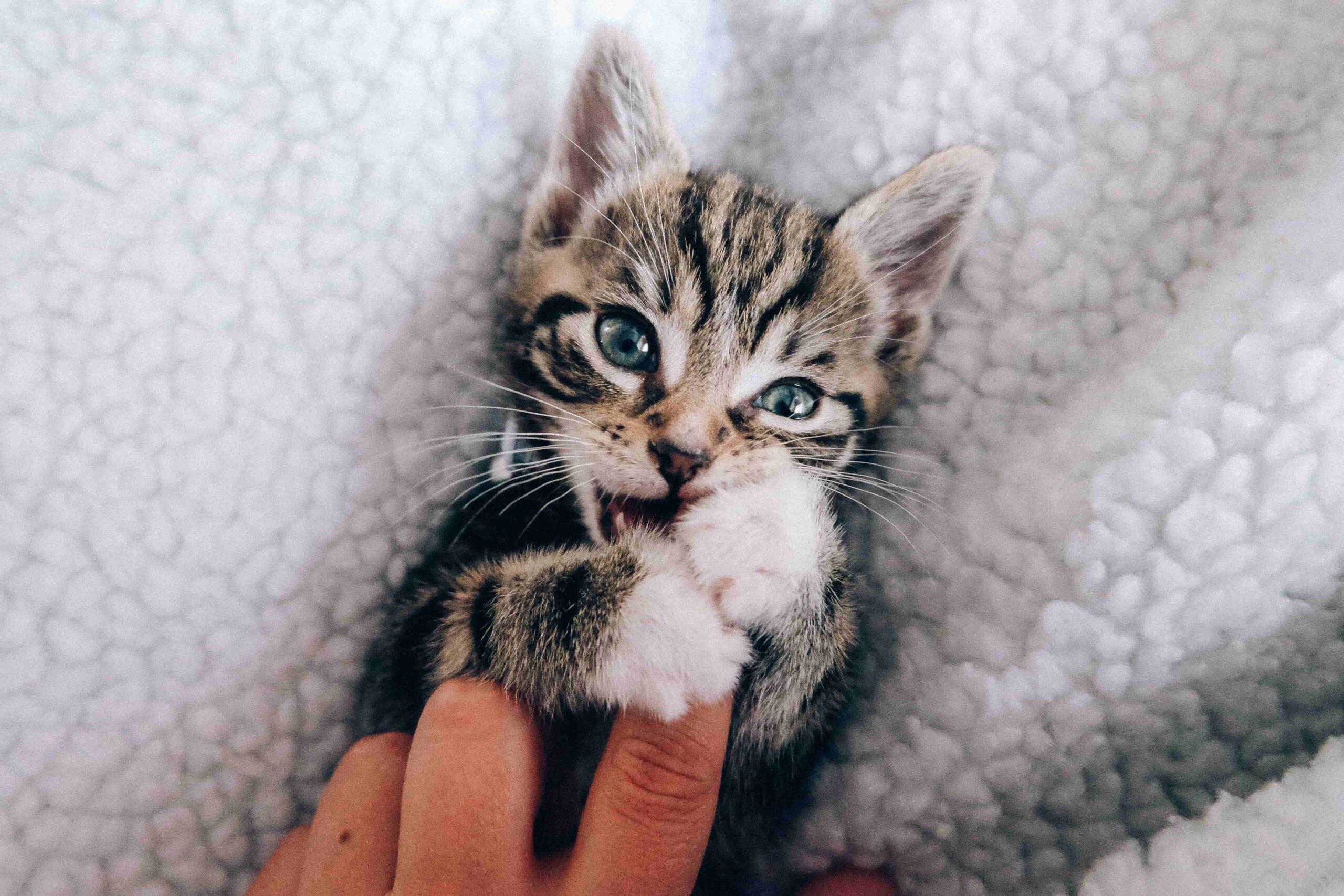 Kedi Sahiplenmeden Önce Bilmeniz Gerekenler
