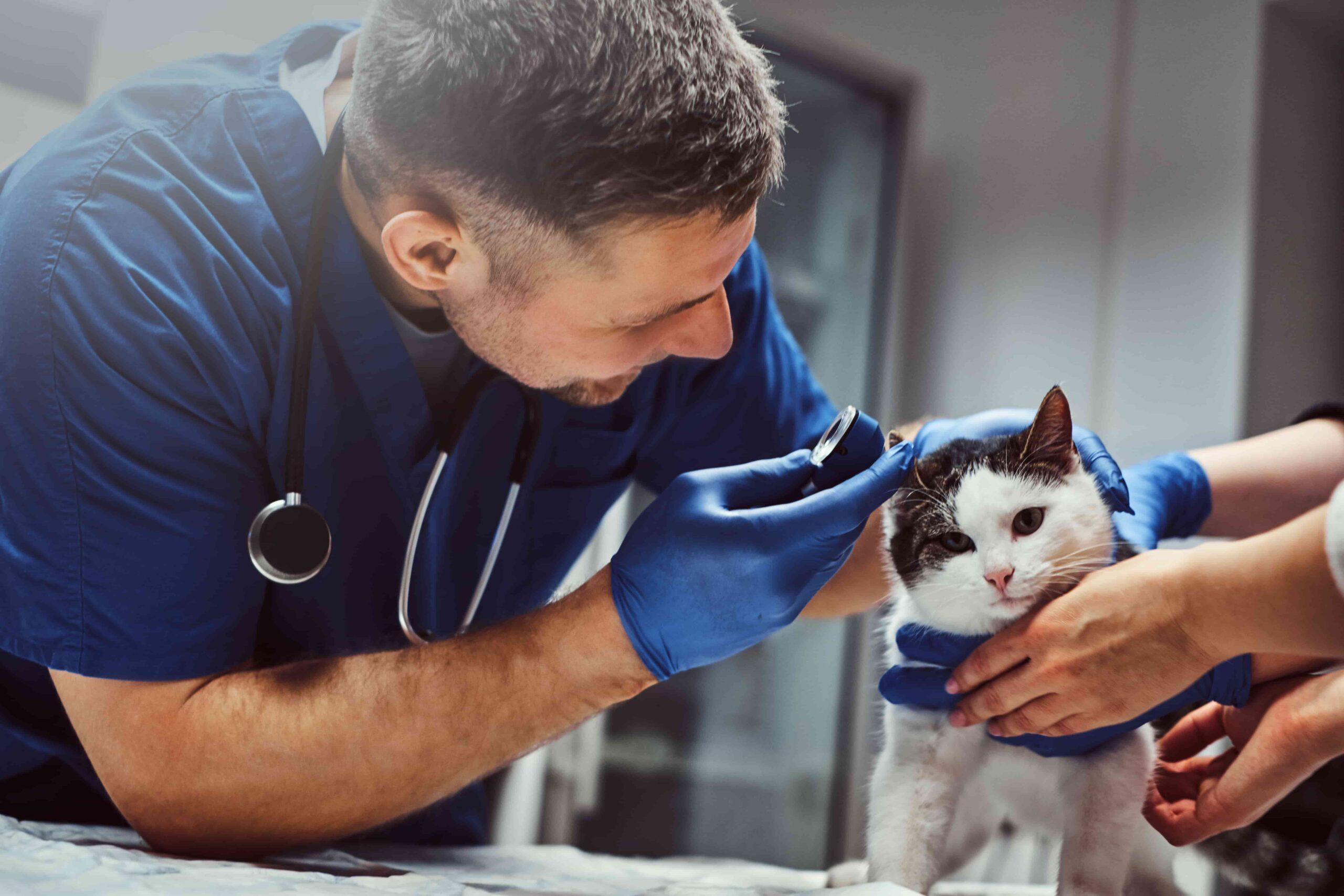 Kedilerde Yüksek Ateş Nedenleri ve Tedavisi