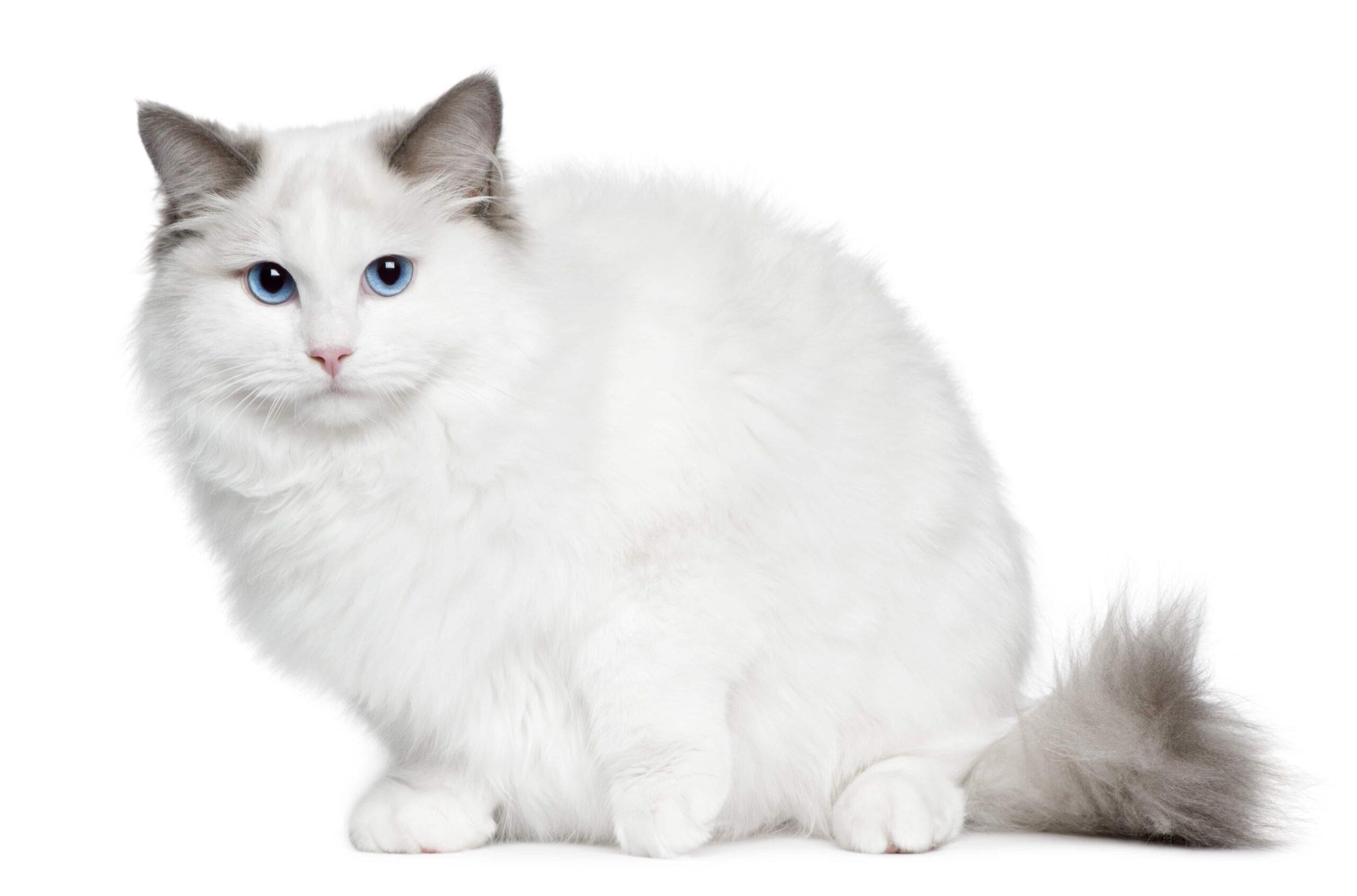 Ragdoll Kedi Irkı ve Özellikleri