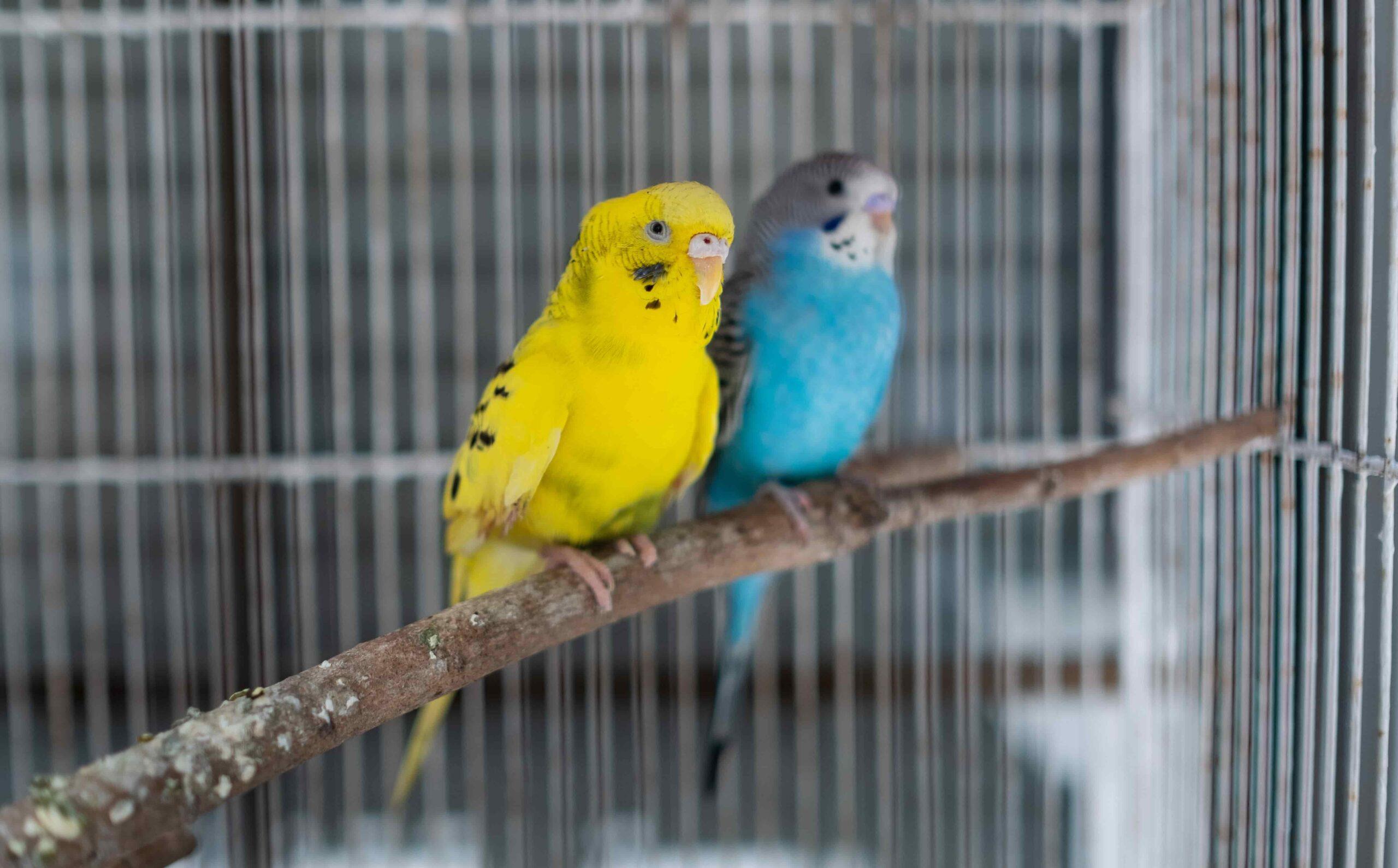 Muhabbet Kuşu Bakımı Nasıl Olmalı?