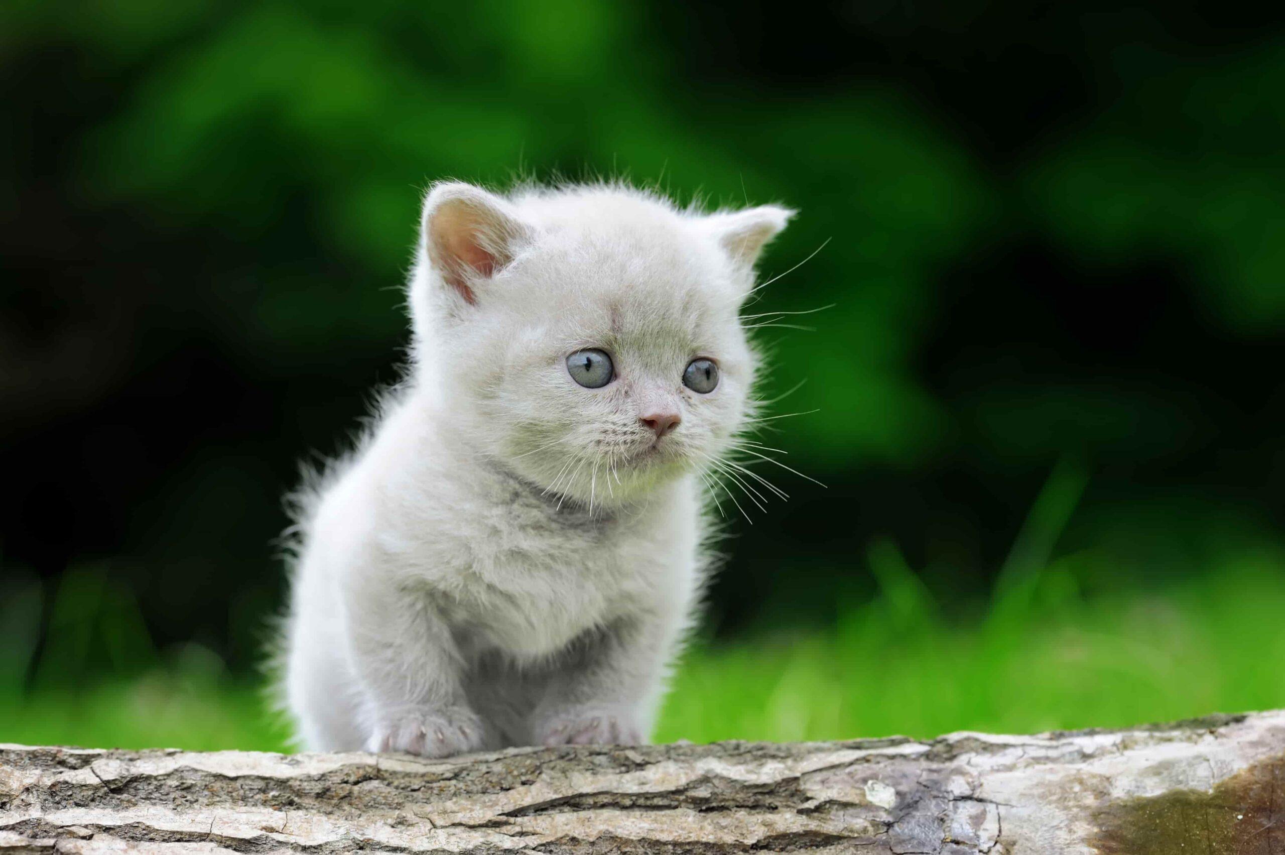 Kedilerde Gebelik Belirtileri ve Doğum Süreci