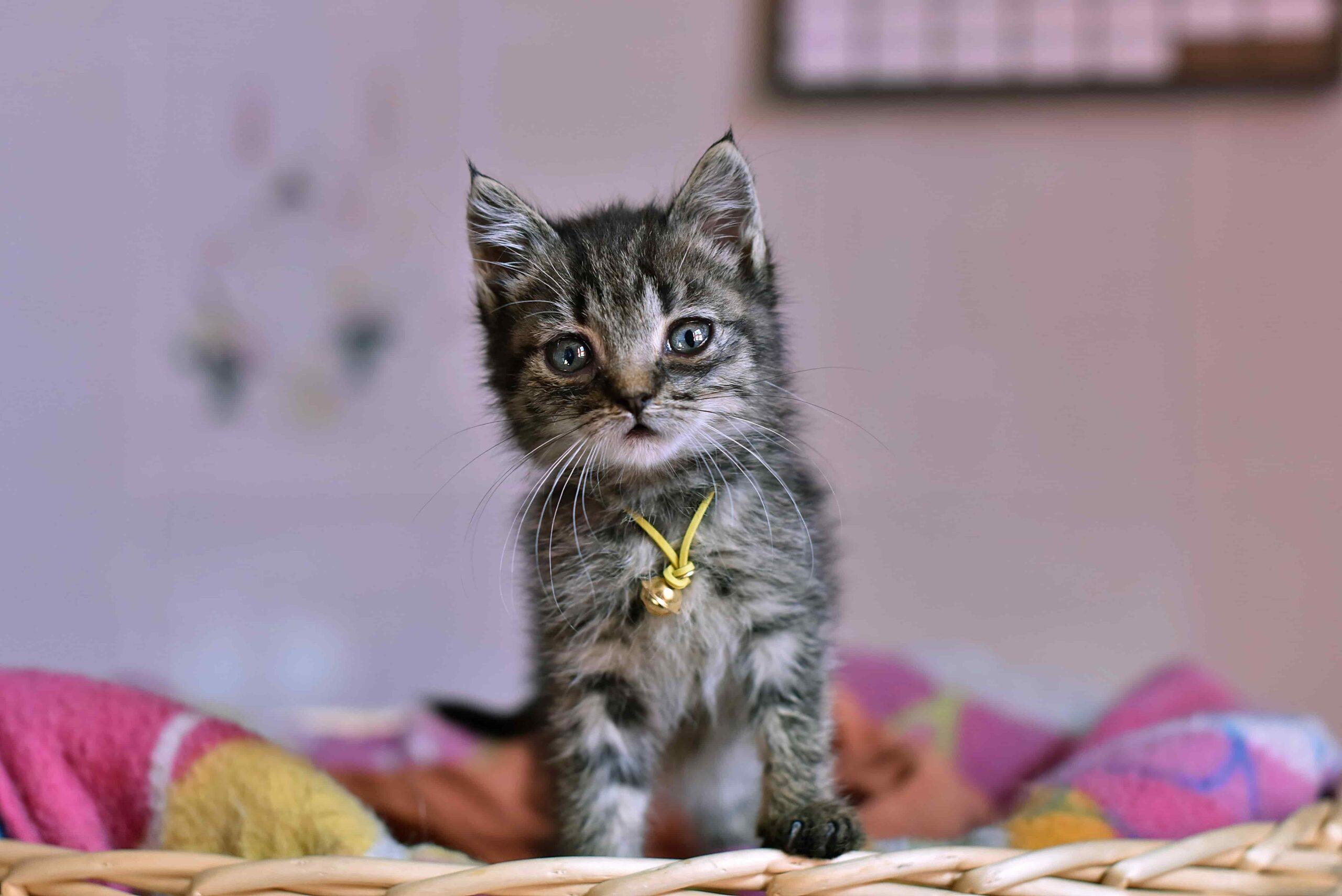 Kedi Bıyıklarının İşlevi Nedir, Ne İşe Yarar?
