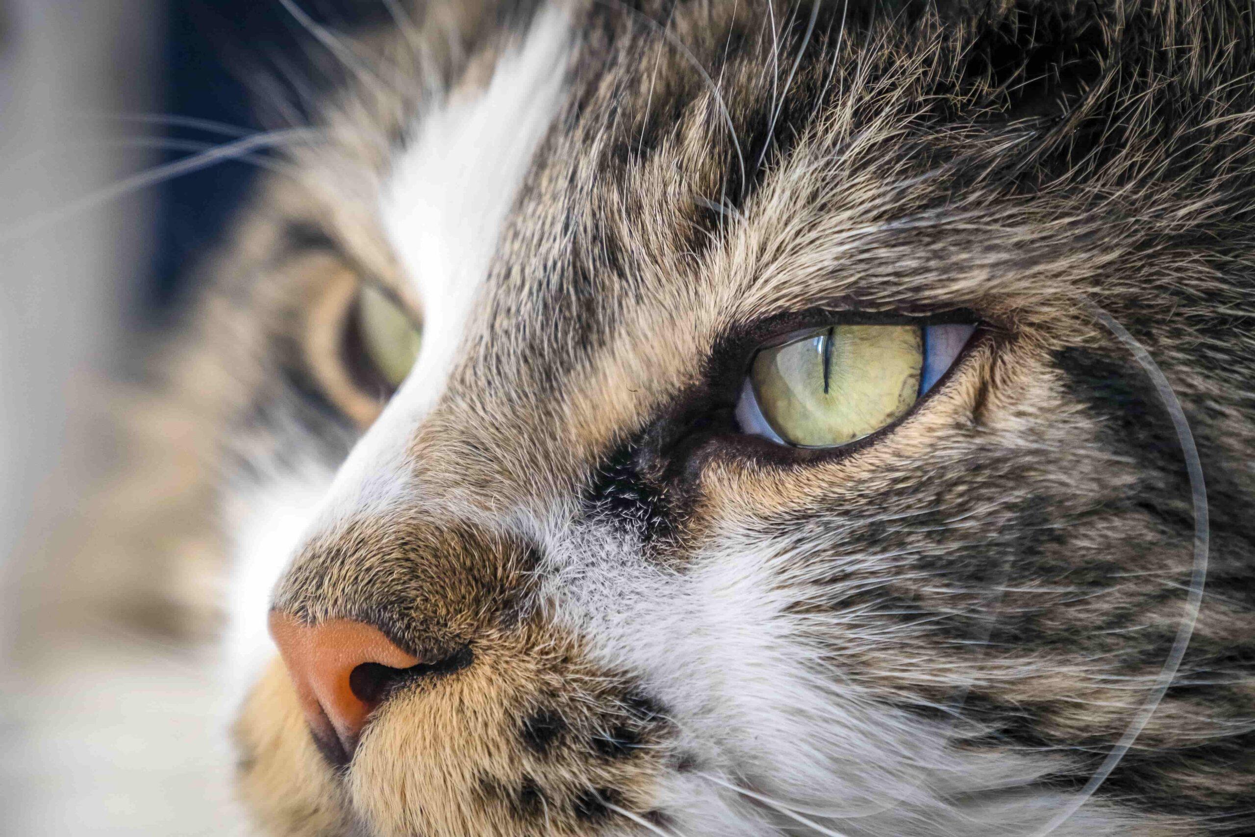 Kedimin Burnu Şişti, Neden Olabilir, Ne Yapmalıyım?