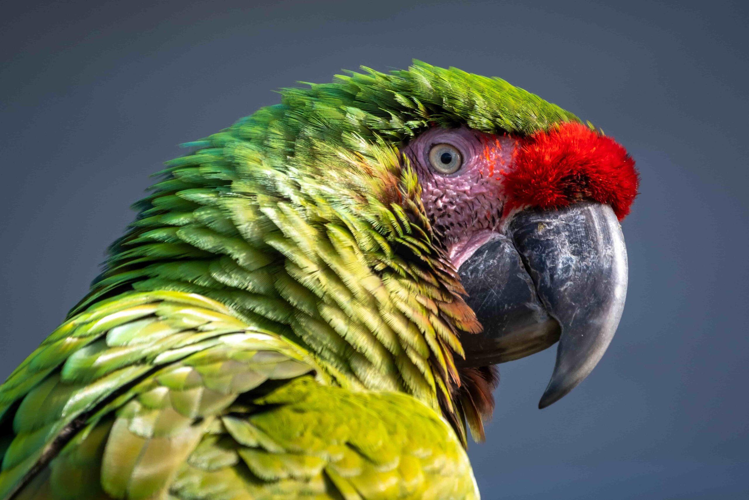 En İyi Konuşan Papağan Türleri Hangileri?