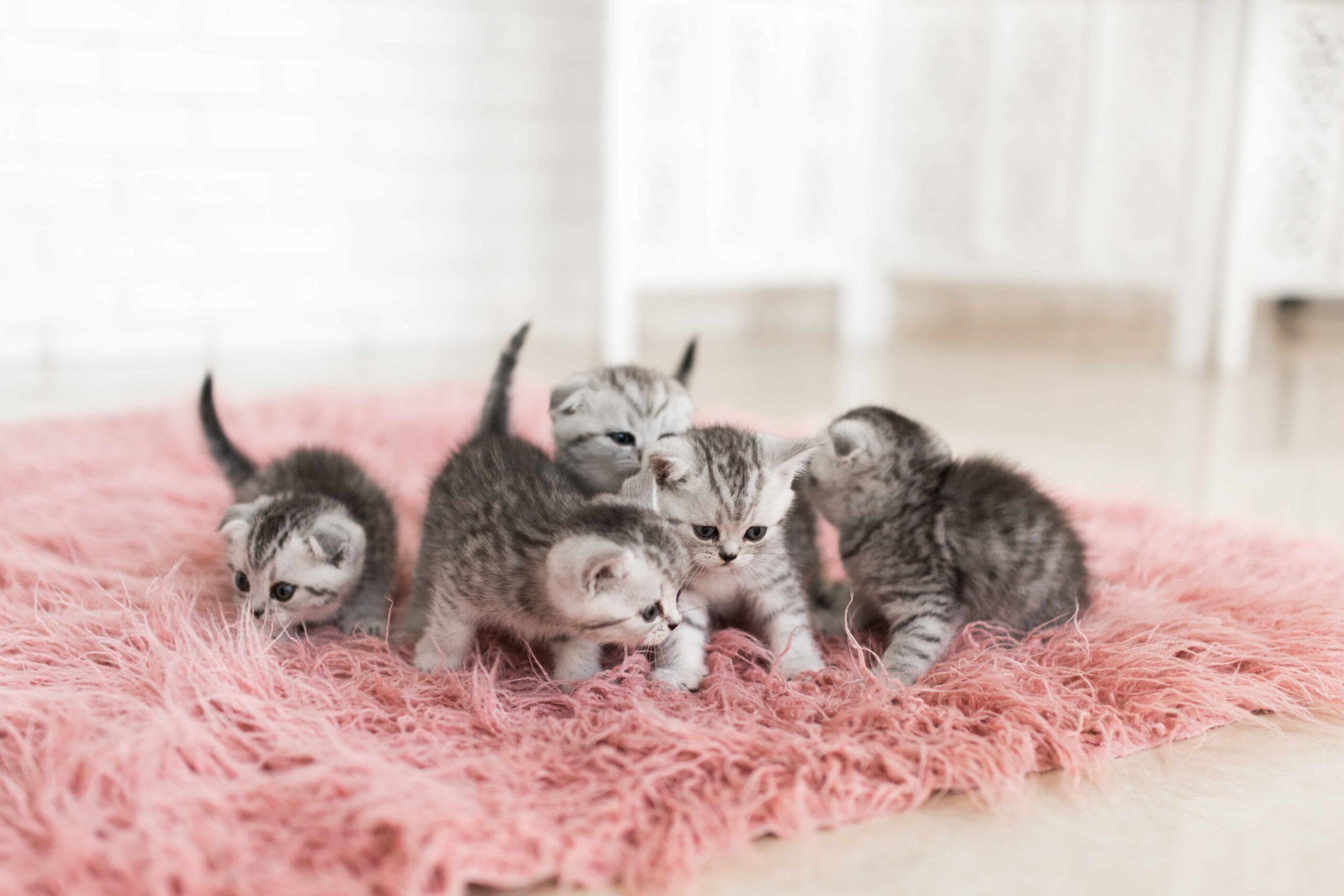 Yavru Kediler Süt İçer mi? Yavru Kedime Süt Vermeli miyim?