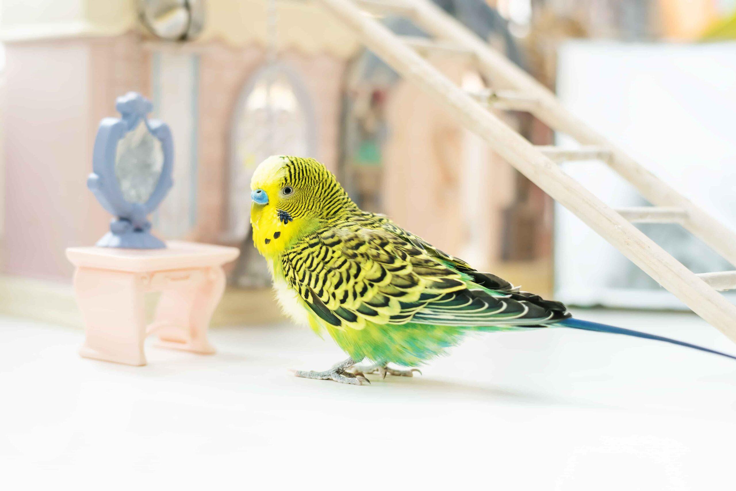Muhabbet Kuşlarında Yumurtlama Belirtileri – Kuluçka ve Yumurtlama Süreci