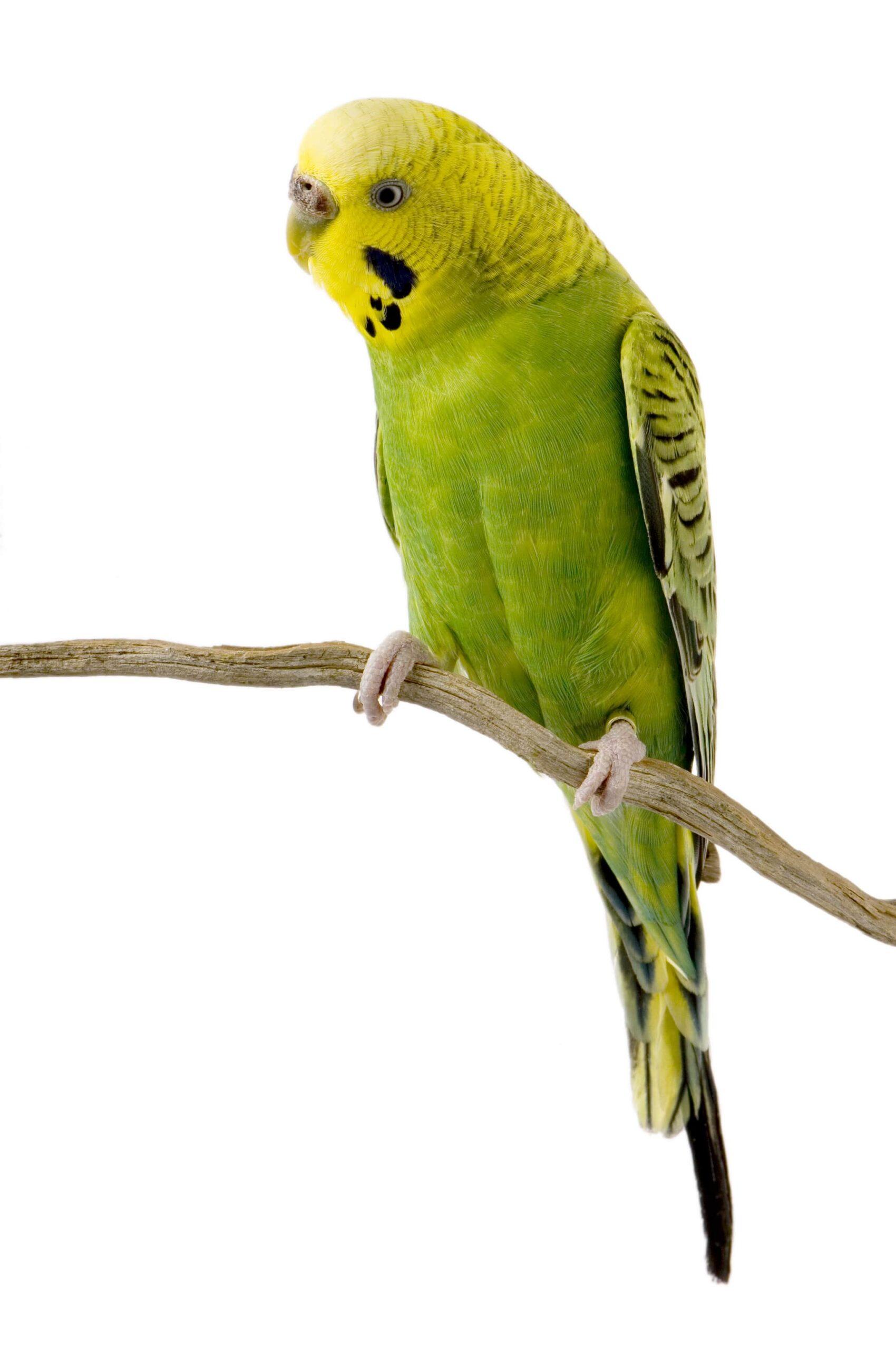 Muhabbet Kuşlarında Mantar Belirtileri, Nedenleri ve Tedavisi Hakkında Bilgiler