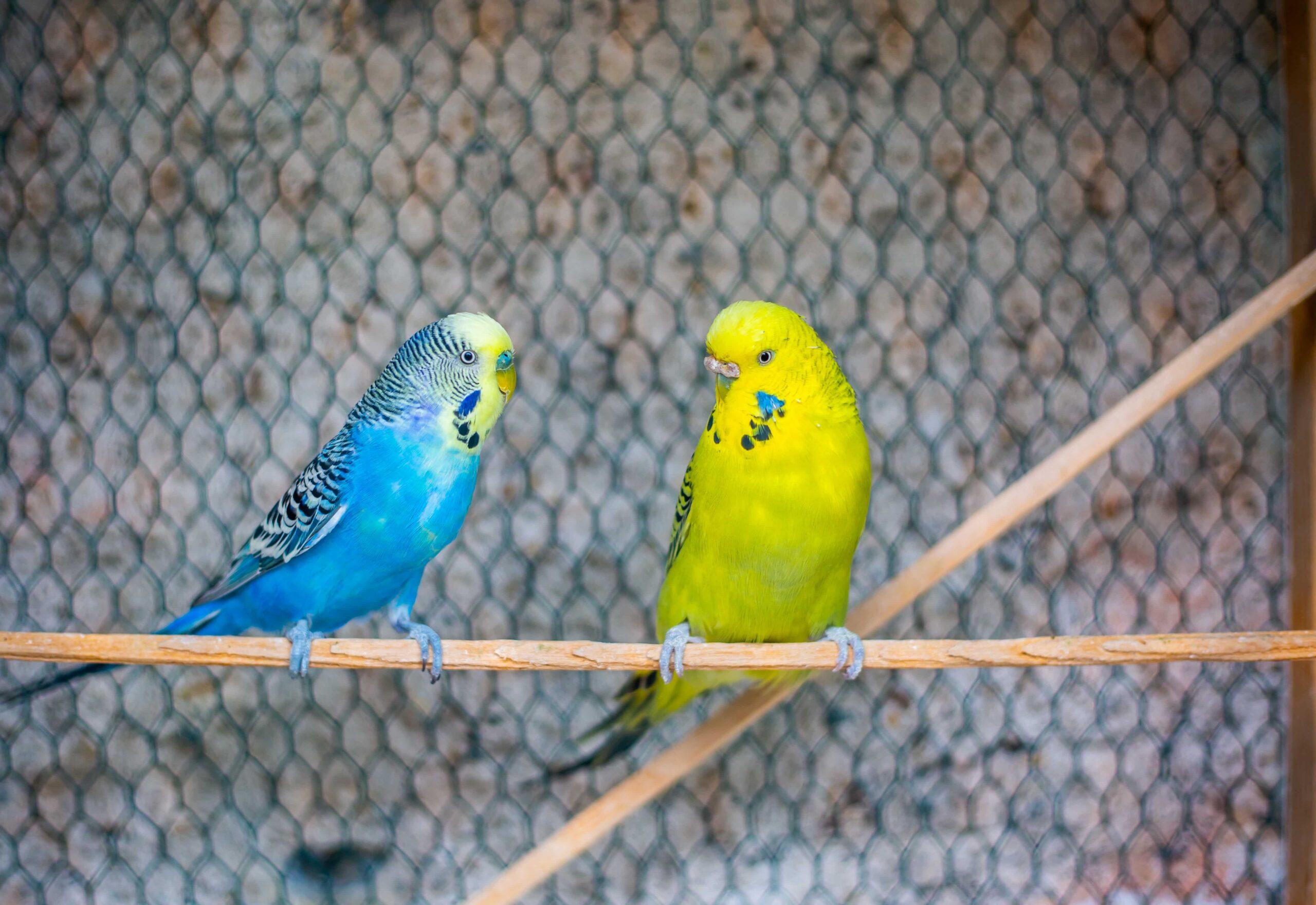 Muhabbet Kuşlarında Eş Değiştirme Yapılabilir mi? Zararı Var mı?