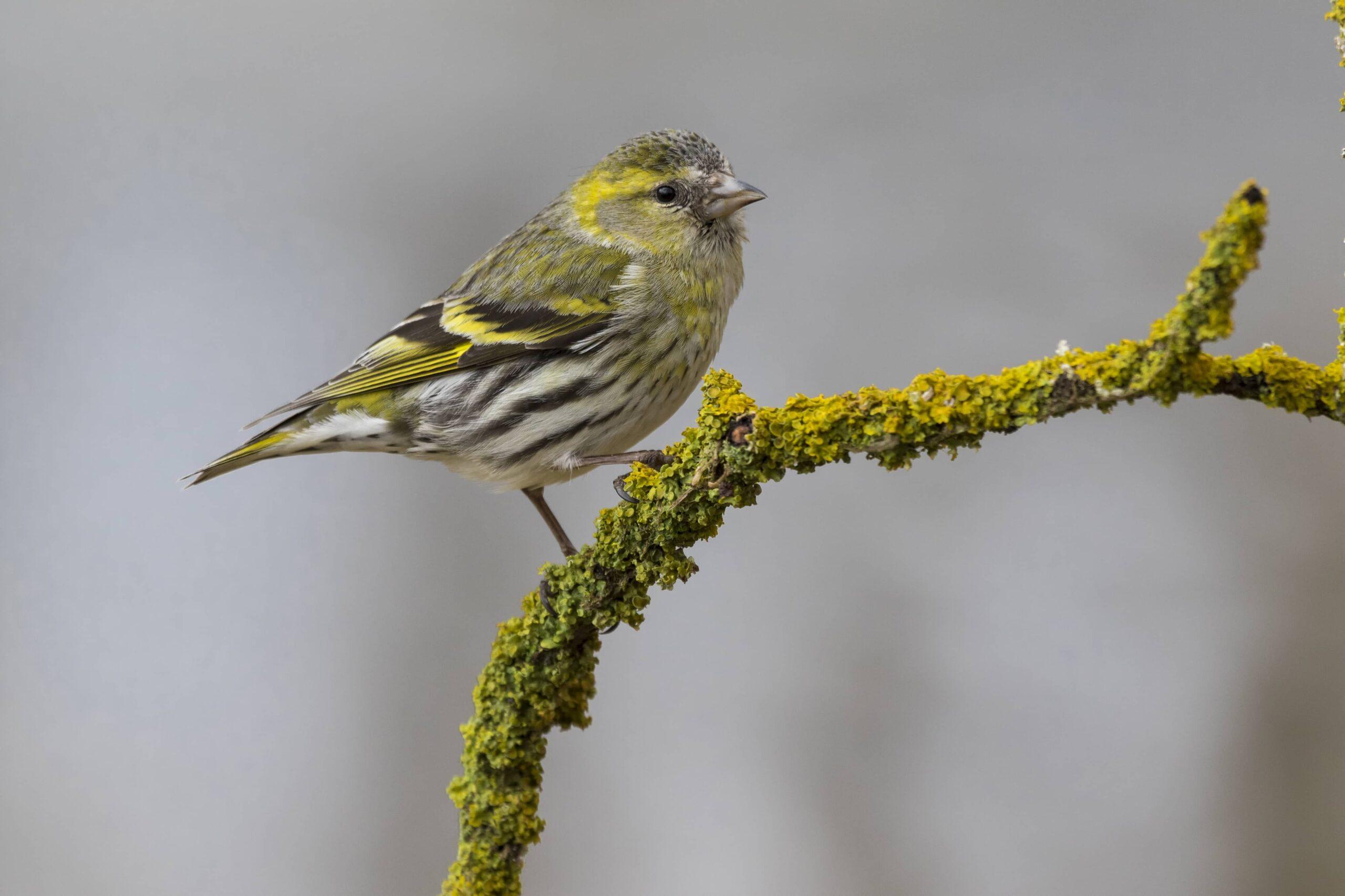 Kanarya Kuşu Türleri ve Özellikleri