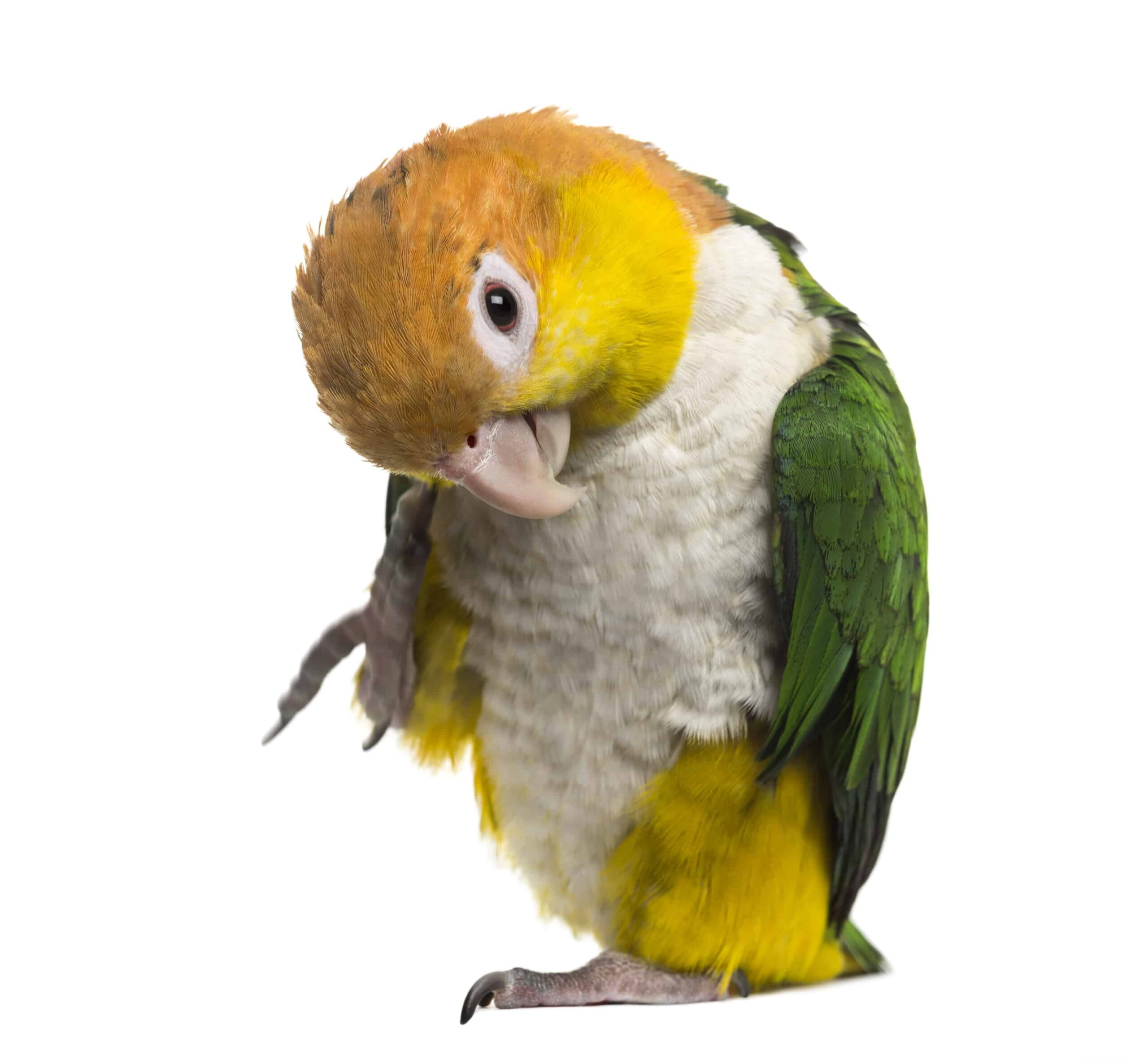 İskender Papağanı Özellikleri ve Bakımı