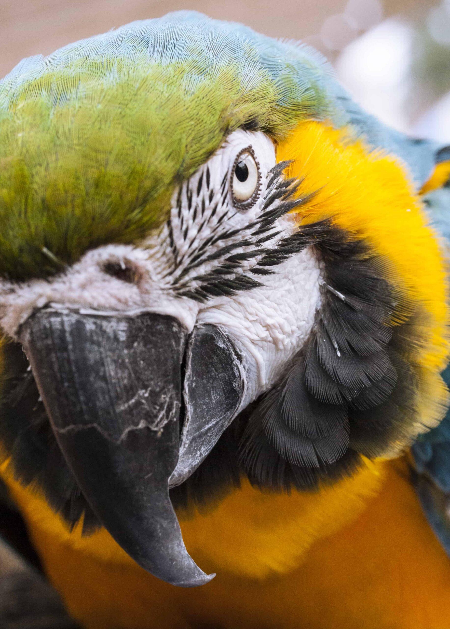 Amazon Papağanı ve Genel Özellikleri Nelerdir?