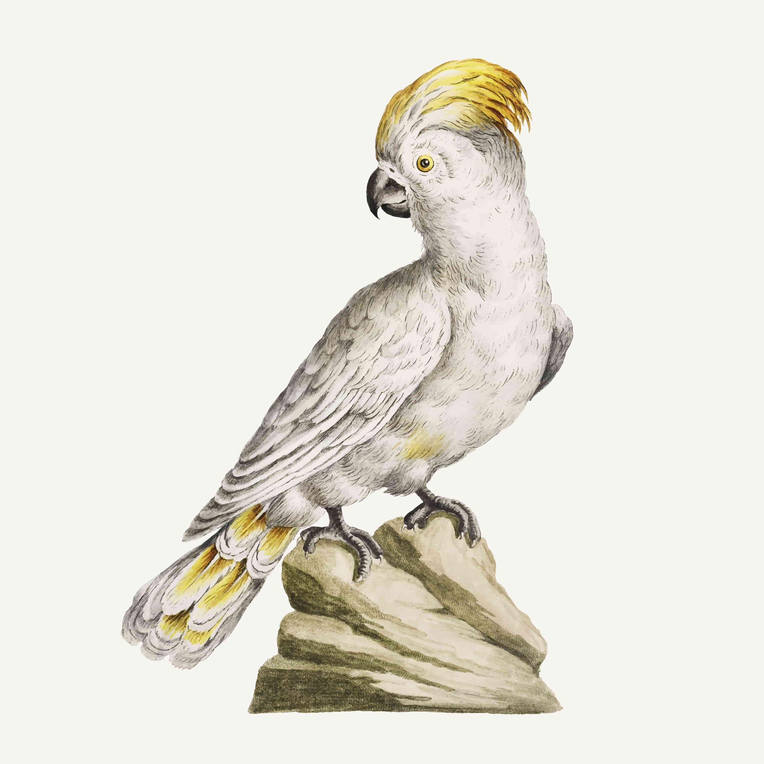 Beyaz Papağan Özellikleri